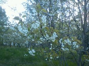 surkörsbärsträd