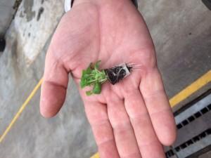 Hällnäs - liten planta