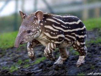 tapirbebis