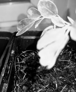 Pepparotsträd/moringa