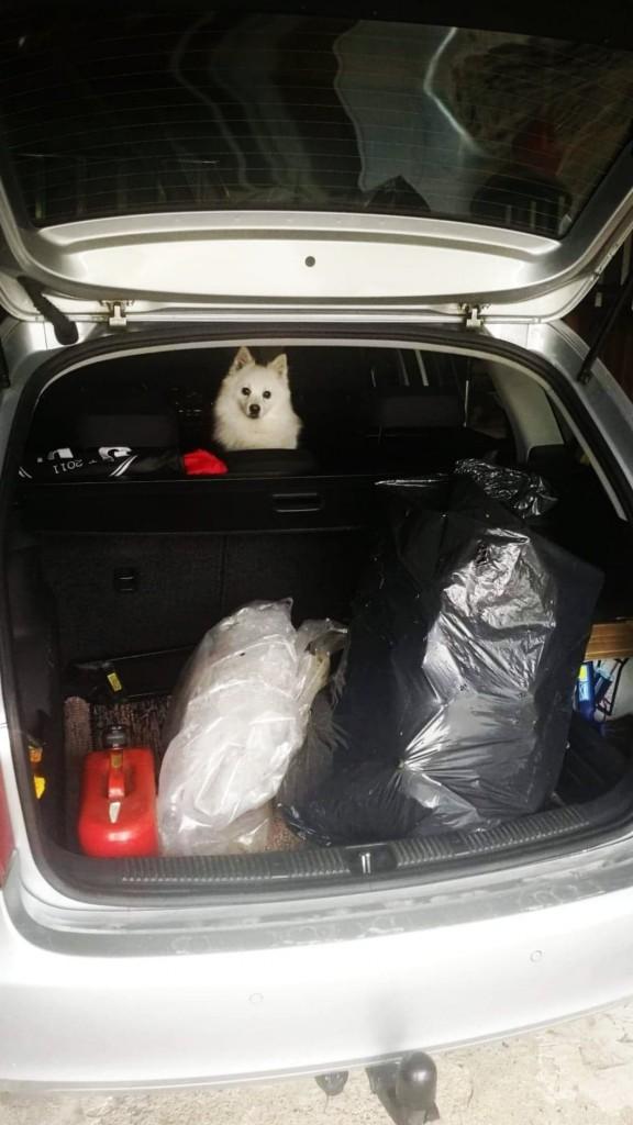 Taggad hund i bil
