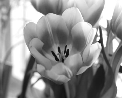 tulips2 (2)
