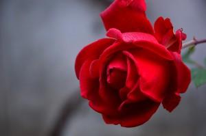 rose-3802424_960_720
