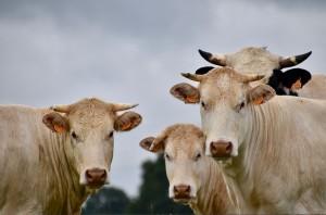 cows-4270352_960_720