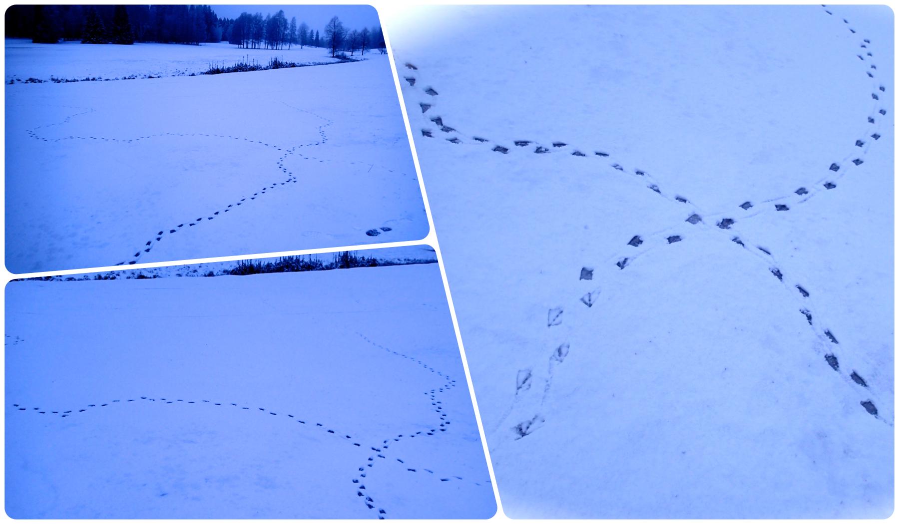 Snöspår som kryssar sig fram… | Umeås Bästa (UB)
