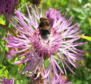 IMG_3146.jpg.blomfluga