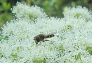 IMG_9123.jpg.blomfluga