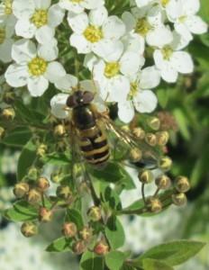 IMG_3225.jpg.blomfluga
