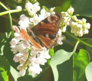 P1030578.jpg.fjäril