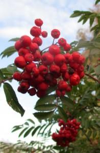 IMG_2872.jpg.rönnbär
