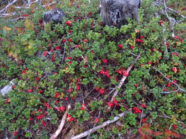 røde bær i skogen ikke tyttebær