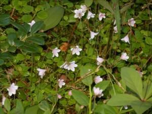 I stället för liljekonvaljerna, som har redan blommat ut, såg jag massor av vackra linnea-blommor