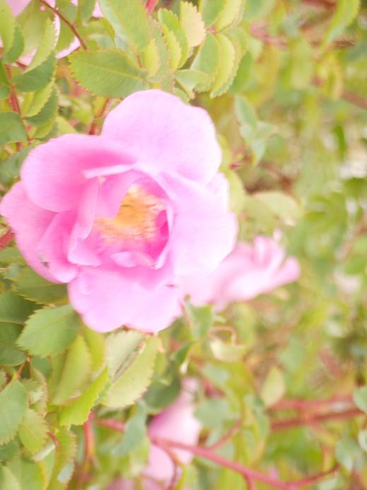 en rosa ros