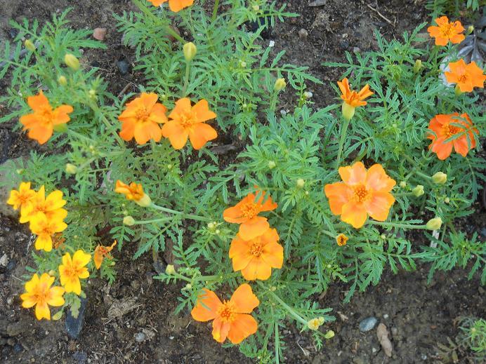 kelt kukka