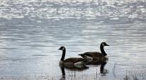Kanada gäss i Avaträsksjön