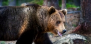 Tio björnar har skjutits
