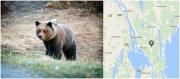 Såg björn nära Holmsund