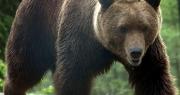 Älgjägare attackerad av björn