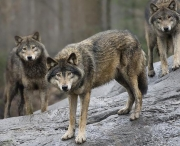 Vargar på genomfart i Västerbotten