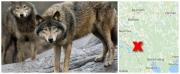 Två vargar finns i länet
