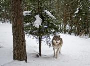 Grönt ljus för licensjakt på varg