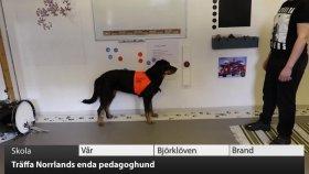 VK100: Träffa Norrlands enda pedagoghund!