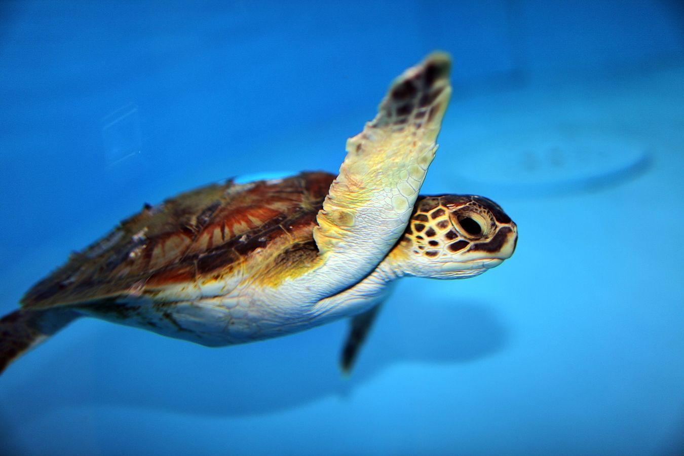 สัตว์ เต่าตนุแอตแลนติกเหนือ North Atlantic Green Sea Turtle