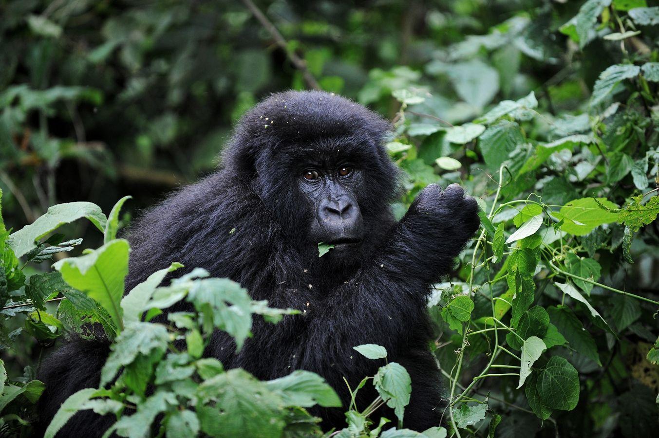 สัตว์ ลิง กอริลลาภูเขา Mountain gorilla