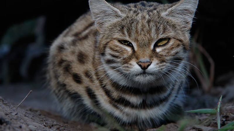 Black Footed Cat