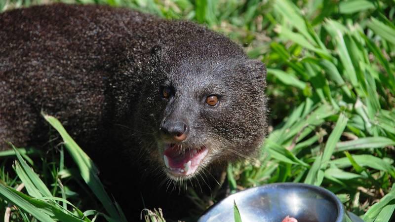 Water Mongoose Eating