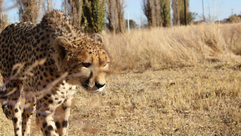 Cheetah and Wild Dog Breeding Center