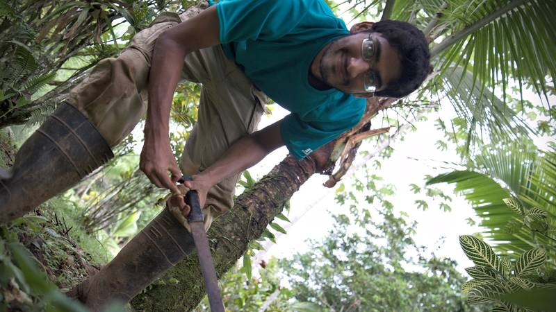 A volunteer collecting breadfruit seeds