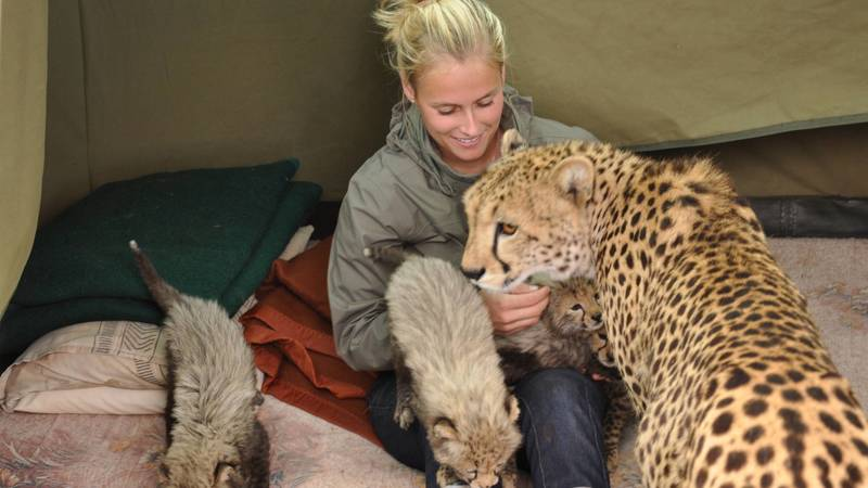 Playing with cheetah cubs