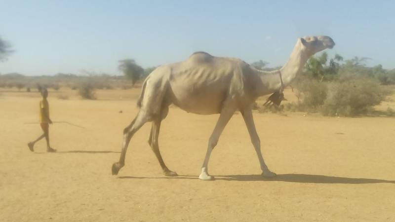 small boy going to graze camels