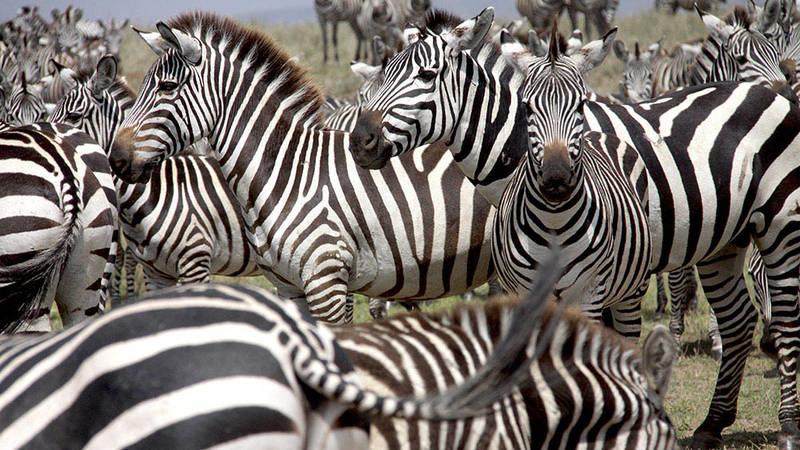 Zebras N'gorongoro