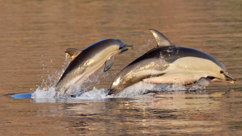 Short-beaked common dolphin mother and juvenile