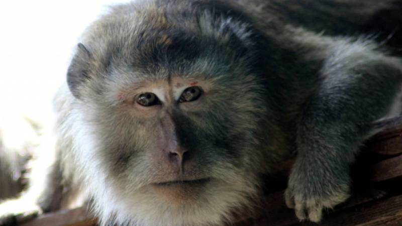 Primate Carer