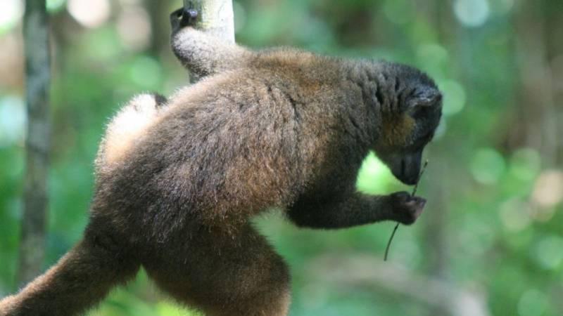 Our lemurs have babies each September October