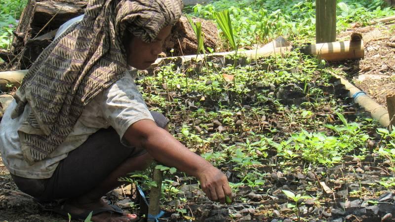 planting sugar palm seedling