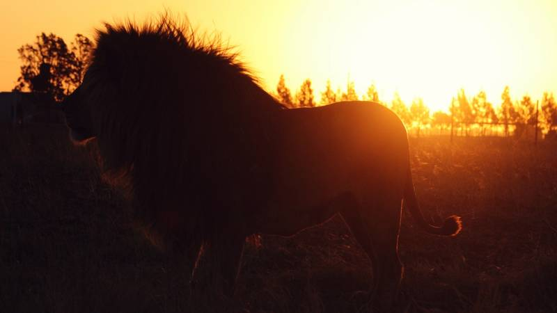 One of our lions on the farm