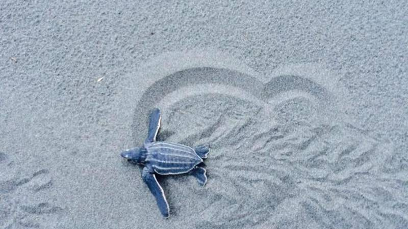 Leatherback Turtle Conservation