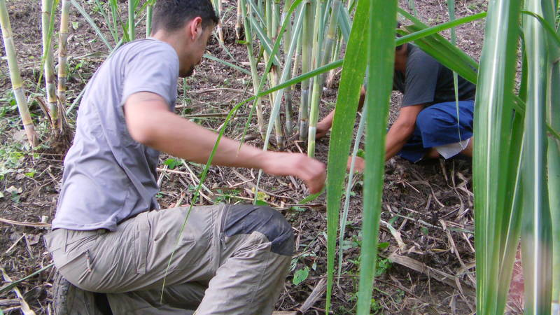 learning how to clean sugar cane