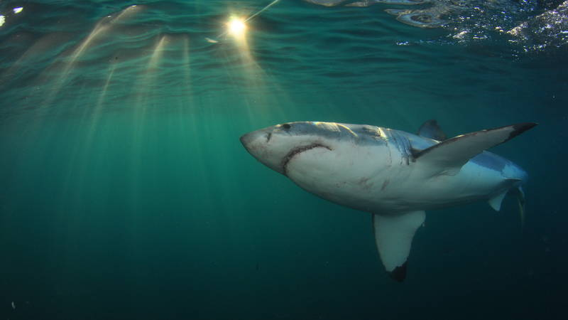 Great White Shark Conservation