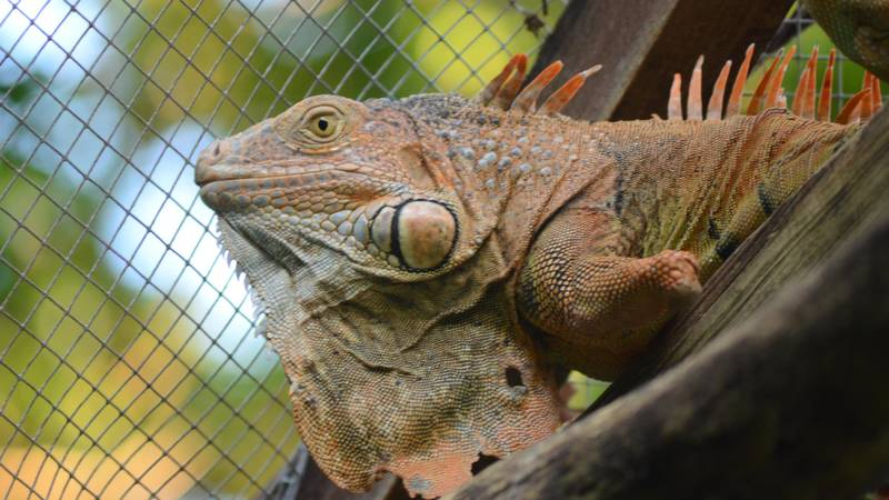 Iguana Conservation Supporter