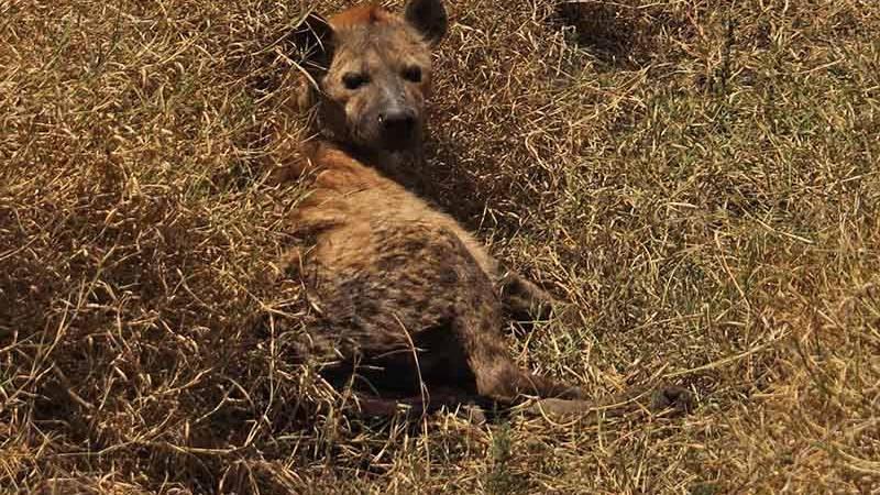 N'gorongoro Hyena