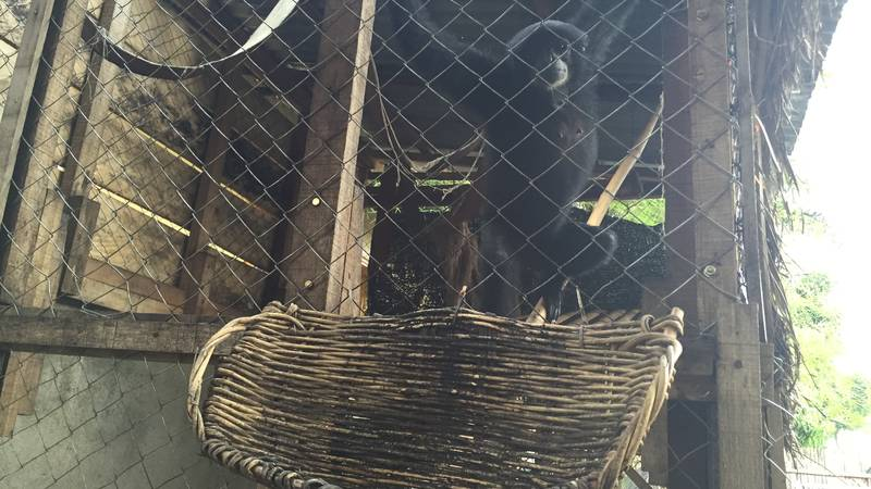 Senja - one of the 13 rescued illegal pet gibbon