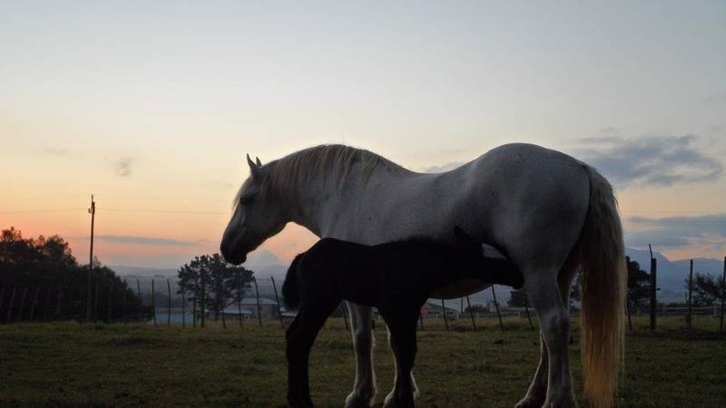 Percheron Horse Conservation