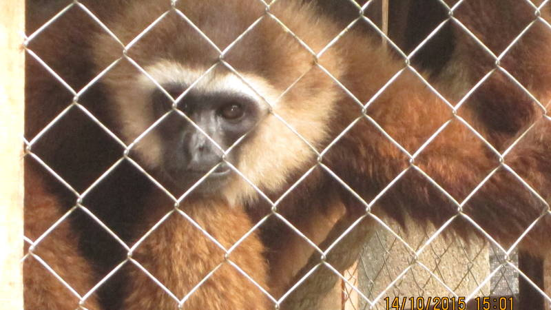 """""""Kuning"""" an endangered agile gibbon at the PTS"""