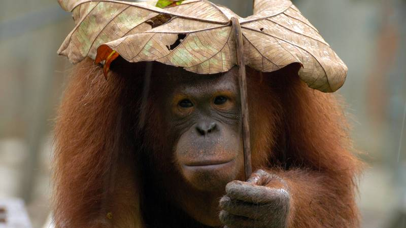 The Orangutan and Pygmy Elephant Reservation