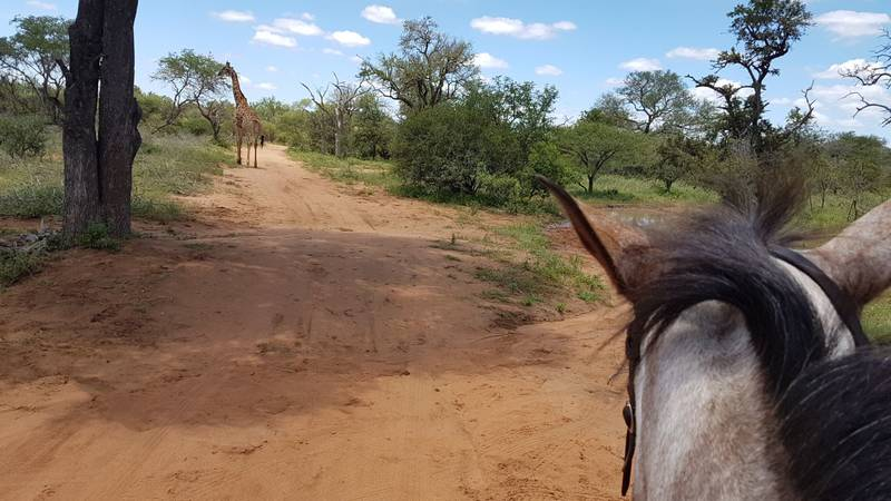 Giraffe on trail